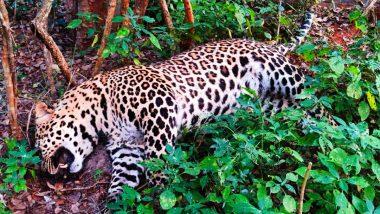 Tamil Nadu: Leopard Found Dead Near Coimbatore's Karamadai Range Forest