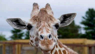 April, The Giraffe That Became an Online Star, Dies at 20