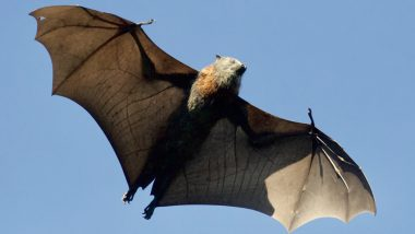 International Bat Appreciation Day 2021 Facts: Did You Know Bat Poops Sparkle? 7 Fun Things About the Misunderstood and Only Flying Mammal