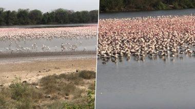 Large Number of Migratory Flamingo Birds Seen at Creek in Navi Mumbai Area of Maharashtra (See Pics)
