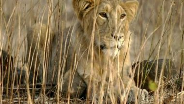 Hyderabad: Eight Asiatic Lions Infected With COVID-19 at Nehru Zoological Park