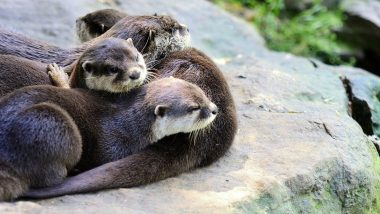 World Otter Day 2021 Date: Know Significance of The Day That Supports the Existence of Otters