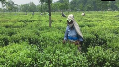 Congress Slams BJP Govt in Assam, Says 'Tea Worker To Lose Rs 2,70,000 in 5 Years Over Its Decision To Increase Daily Wage to Rs 205 Instead of Promised Rs 351'