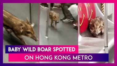 Animals On The Train: Baby Wild Boar Spotted On Hong Kong Metro