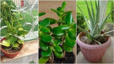 Gardening Tips and Tricks: How To Take Care of Money Plant, Jade Plant and Aloe Vera Plant at Home