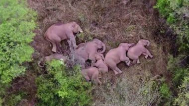 Mysteries Of How Elephants Sleep Revealed! Herd of Elephants Marching in China Takes a Well-Deserved Nap (See Pics)