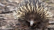 What Is Echidna? Scientists Say They Have Finally Uncovered The Mystery Behind The 4-Headed Penis of These Bizarre Mammals (Watch Video)