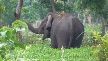Wild Elephant Strays into Village in West Bengal's Jalpaiguri District, Destroys Tea Plantation (See Pics)