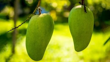 'Noorjahan' Mangoes in Madhya Pradesh Report Good Yield, Cost Up To Rs 1,000 Apiece This Year