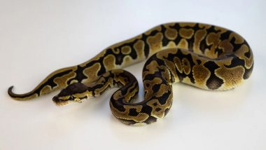 65-year-Old Austrian Man Bitten in the 'Genital Area' by Neighbour's Escaped Python in Toilet