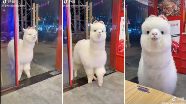 TikTok Video of Alpaca Visiting Hangzhou Restaurant Goes Viral and Netizens Are Wondering if It's for Real!