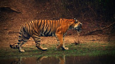 West Bengal Forest Department Celebrates Birthday of Raja, 25-Year-Old Royal Bengal Tiger, in Grand Manner