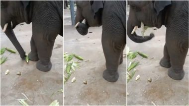 Viral Video of an Elephant Feasting on Maize is The Cutest Thing You'll on Internet Today!