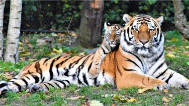 International Tiger Day 2021: Date, Theme and Significance of This Annual Celebration To Raise Awareness for Tiger Conservation