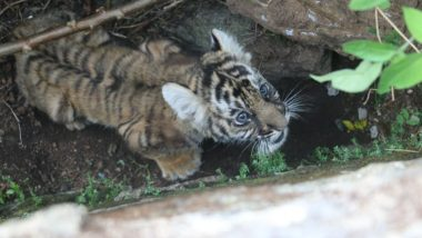 International Tiger Day 2021: A Rescued Tiger Cub Mangala Gets 'Re-Wilding' Lessons at Periyar Tiger Reserve in Kerala