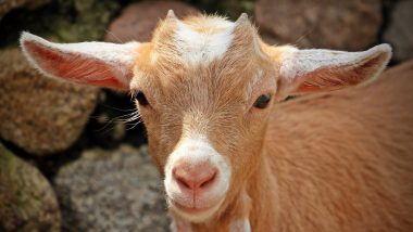 'Miracle Baby Goat': Goat Gives Birth to Kid With 8 Legs and 2 Hips in West Bengal