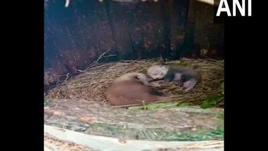 West Bengal: Female Red Panda Gives Birth to Two Cubs at Padmaja Naidu Himalayan Zoological Park in Darjeeling (See Pics)