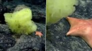 Hertwigia and Chondraster, Real-life 'Spongebob Squarepants' & 'Patrick Star', Spotted in Atlantic Ocean By Marine Biologists; Watch Video