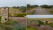 Gujarat: Over 3,000 Black Bucks Cross Road at Bhavnagar's Blackbuck National Park (Watch Video)
