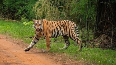 World Tiger Day 2021: Tiger Population in Andhra Pradesh Rise From 47 to 63 in A Year's Time, Say Forest Officials
