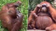 A Cool Orangutan Sports Sunglasses After Visitor Drops It Into The Primate's Enclosure at Indonesian Zoo, TikTok Video Goes Viral