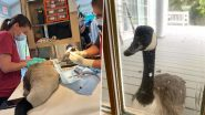 Loyal Goose Anxiously Taps Glass Window While Mate Undergoes Foot Surgery Inside Wildlife Hospital