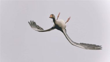 Goose Flying Upside Down Photo Goes Viral Again, Here's the Full Story About This 'Showing-Off' Bird