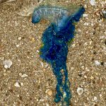 Mumbai: Blue Bottle Jellyfish Spotted At Juhu Beach; Experts Warn People Not To Come in Contact With Venomous Marine Species