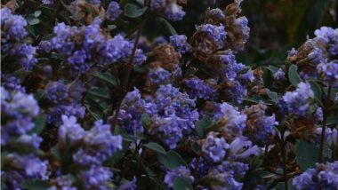 Neelakurinji Blooms: Things To Know About Rare Blue Flowers That Blossom After 12 Years