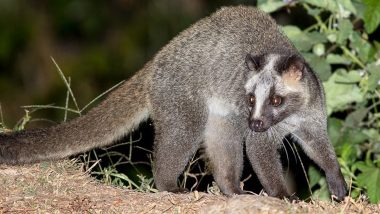 Three Poachers Arrested for Allegedly Killing Palm Civet Cats of Dudhwa Tiger Reserve in UP