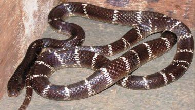 Chhattisgarh Shocker: Drunk Duo Eat Venomous Snake in Korba, Hospitalised