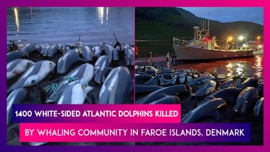 Faroe Islands: 1400 White-Sided Atlantic Dolphins Killed By Whaling Community In Denmark, Global Outcry Over Traditional Practice