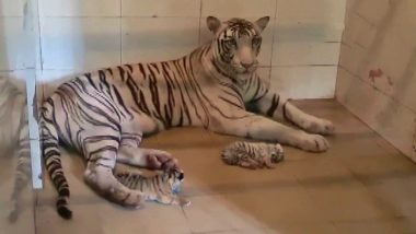 Mira, White Tigress, Gives Birth To Two Cubs in Madhya Pradesh's Gandhi Zoological Park