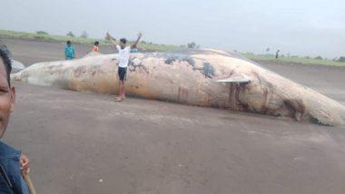 Shocking! 40-Feet-Long Whale Carcass Washed Ashore From Arabian Sea on Remote Mardes Beach in Maharashtra's Vasai