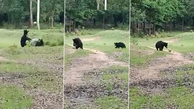 Odisha: Two Wild Bears Spotted Playing With a Football in Nabarangpur (Watch Video)