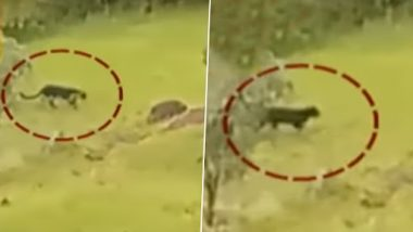 Rare Black Panther Spotted Near Famous Pratapgad Fort in Mahabaleshwar, Video Goes Viral