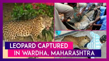 Leopard Captured After Straying In To Hospital Campus In Wardha, Maharashtra